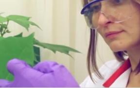 016: Bemisia tabaci Test Method Video